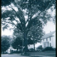 Main Street, 37, Roby Elm Tree